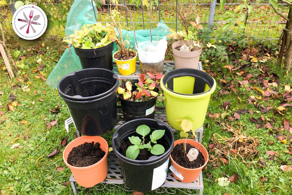 Garten herbstfest machen. Letzte Pflanzungen. Kartoffeln, Physalis und Erdbeeren.