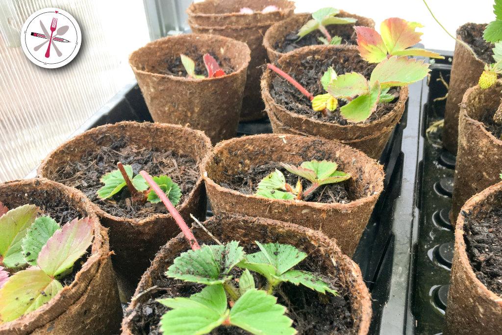 Garten herbstfest machen. Erdbeeren Ableger im Gewächshaus.