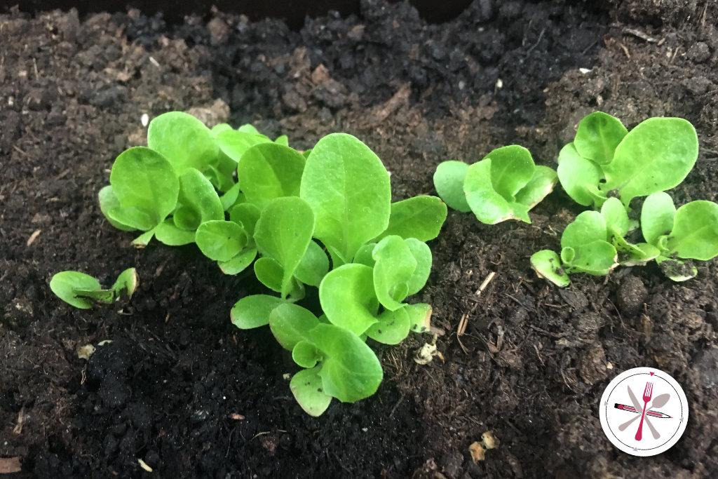 Pflücksalat Salat